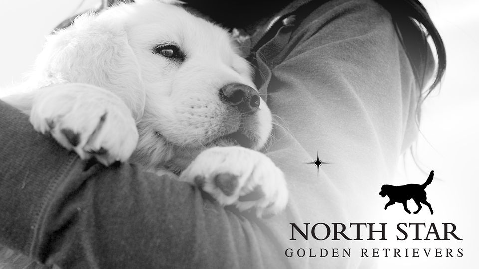 North Star Goldens