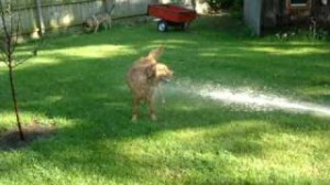 goldens love water hoses