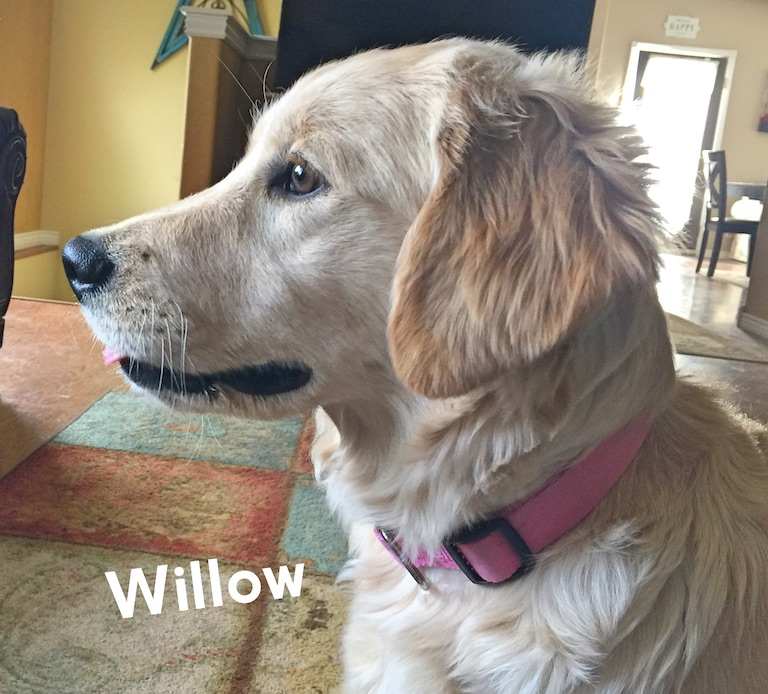 willow trained puppy